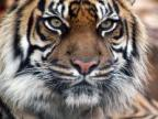 tiger profilkép