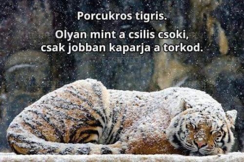 15373-porcukros-tigris.jpg